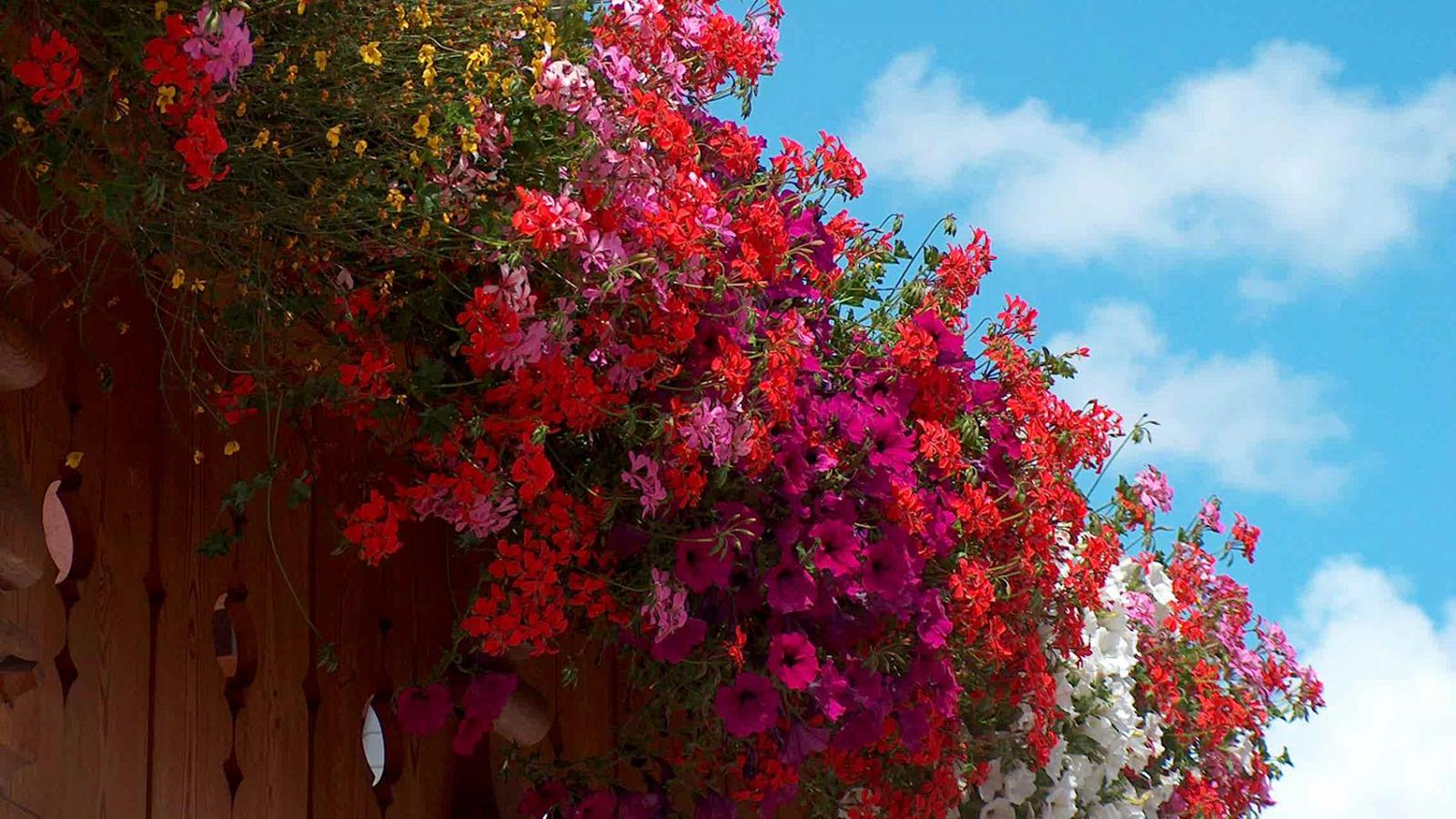 beautiful red and violet  geraniums on a balcony of the hotel La Serenella