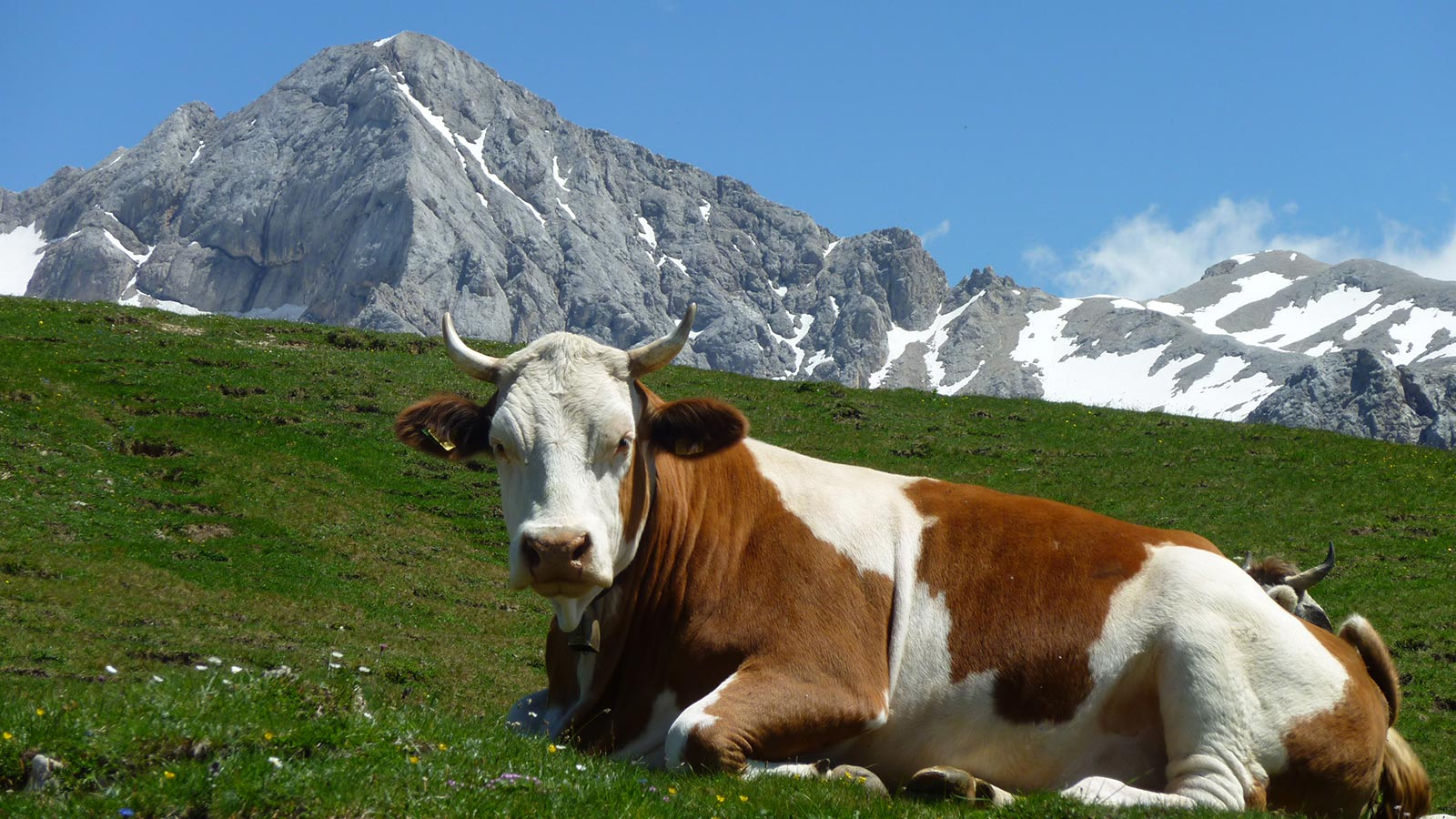 a cow laying on a meadow on the mountains in Moena in summer
